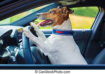 dog car steering wheel - dog driving a steering wheel in a...