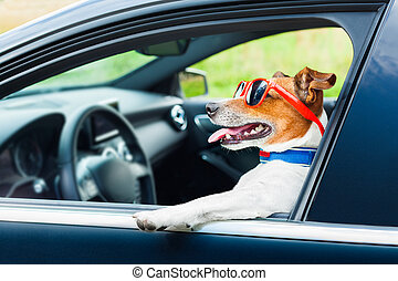 dog car steering wheel - dog leaning out the car window with...