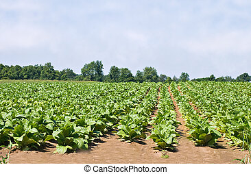 Tobacco Field against a blue sky