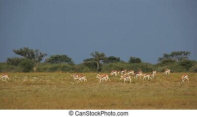 Springbok herd - Herd of springbok antelopes (Antidorcas...