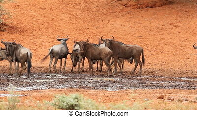 Wildebeest at waterhole - Blue wildebeest Connochaetes...
