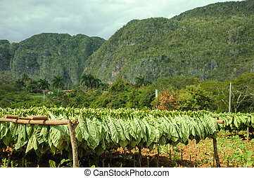 tobacco plantation fields in cuba - view on tobacco...
