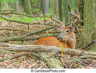 Whitetail Deer Buck In Velvet bedded down in the woods.