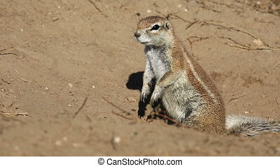 African ground squirrel - Alert African ground squirrel...