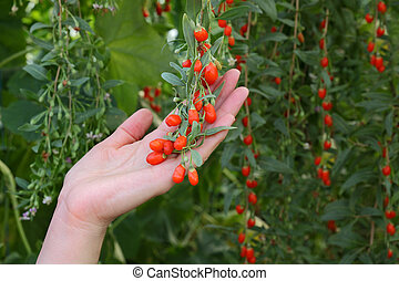 Agriculture, goji berry fruit - Agriculture, farmer holding...