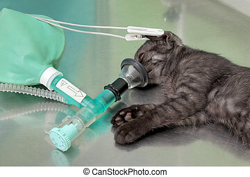 Veterinary, cat surgery - Animal surgery, cat with...