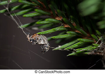 The web - The prey captured by the thick cobwebs