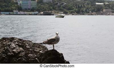 Seagull on stone Coast - Seated on a rock gull flies