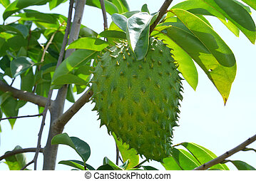 Soursop, Prickly Custard Apple. (Annona muricata L.)...