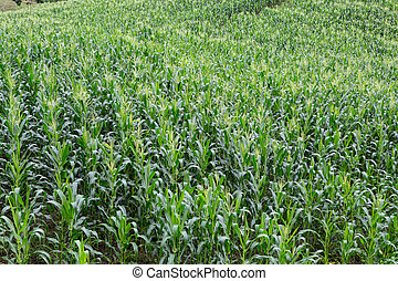 Green field of corn growing up