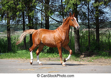Chestnut horse trotting to the stable - Chestnut horse...