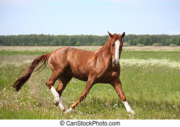 Chestnut horse in fright running away at the field