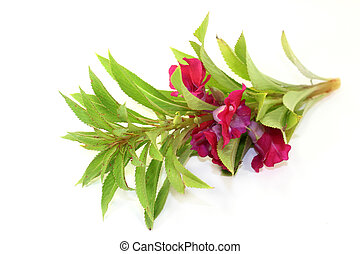 Balsam - Chinese medicinal herb on a white background