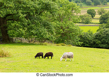 Black and white sheep Lake District - Country scene of sheep...