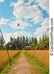 Pathway in rice field with blue sky