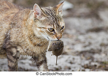 Cat with mouse in mouth - Tabby cat with dangerous look...