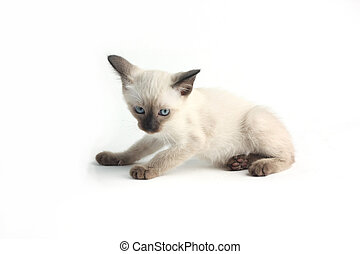 Baby a thai kitten is a traditional or old-style siamese...
