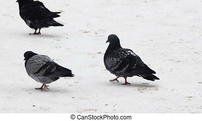 Many city pigeons on snow - Close up view at flock of city...