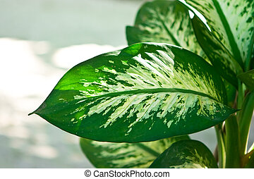 Palm - Dieffenbachia green plant on day white background
