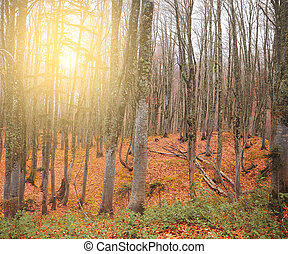 Foggy mountain forest at sunset.