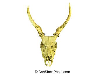 deer skull isolated on white background