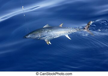 Blue fin tuna Mediterranean fishing and release - Blue fin...