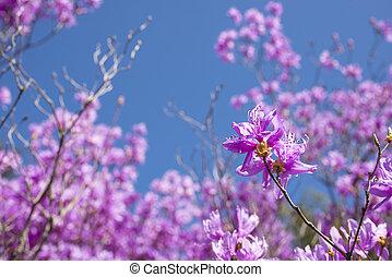 Red purple azalea in blur - Red purple azalea blossom in...