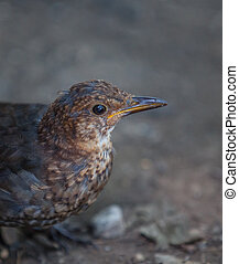 Young juvenile Blackbird in a forest
