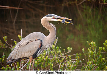 Great Blue Heron with Catfish in his beak at Everglades...