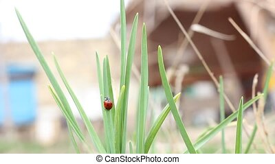 Ladybird on a grass