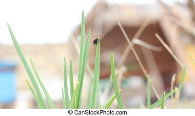 Ladybird on a grass.
