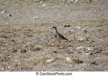 Crowned Lapwing - Crowned lapwing or crowned plover