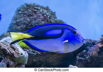 Blue Tang fish in a aquarium with coral reef on background