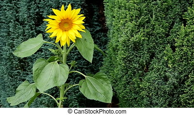 Sunflower - Helianthus - HD - The sunflower (Helianthus)...