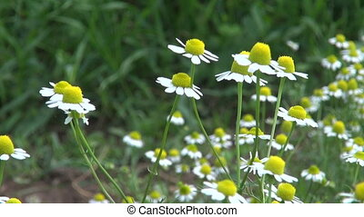 fresh chamomile medical herbs blossoms in summer garden