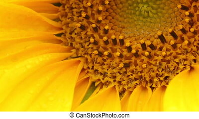 Sunflower - Helianthus - The sunflower Helianthus Cultivated...