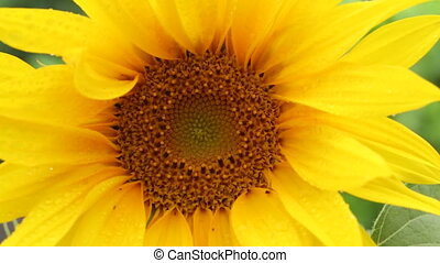 Sunflower - Helianthus - HD - The sunflower Helianthus...