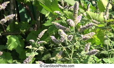 medical herbs mint blossoms - fresh summer time medical...