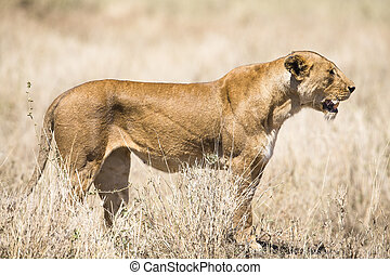 Wild lion looking after prey in Serengeti Tanzania, Africa...