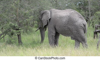 eating elephant - elephant eating from tree