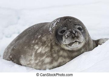 grande, cachorro, Weddell, sellos, acostado, nieve, bien