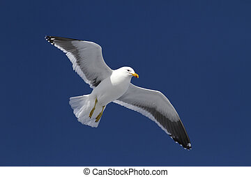 Dominican gull soars in the winter sky in Antarctica