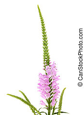 Pink Physostegia flower