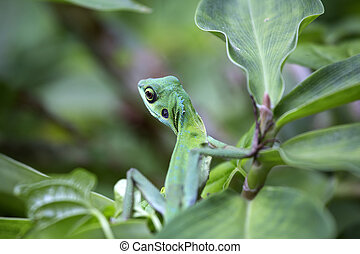 Jungle Lizard - Green lizard on a green leaf surrounded by...