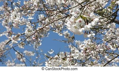 Several cherry blossoms swaying the wind in front of flower...