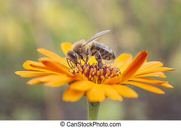 bee on orange marigold - bee collecting honey on orange...