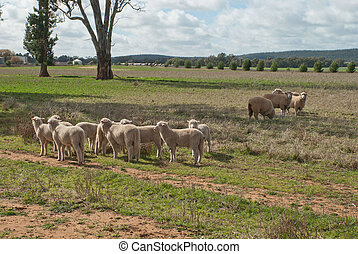 mammal - 4 crossbreed ewes and their lambs in a grass...