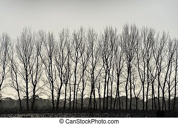 Grey Fringe - Line of bare deciduous trees in heavily...