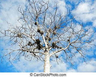 Arvore - Jenipapeiro uma rvore frutfera que chega a medir 18...