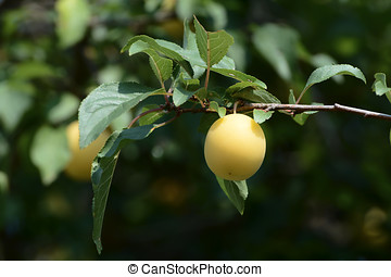 mirabelle plum - the fruit of a wild mirabelle plum in a...